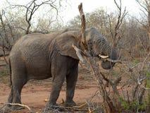 大象在一个徒步旅行队期间的` s画象在大草原 库存图片