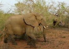 大象在一个徒步旅行队期间的` s画象在大草原 图库摄影