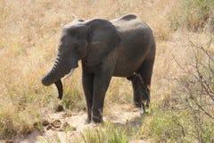 年轻大象在克鲁格公园 库存图片