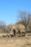 大象在动物园里 免版税库存照片
