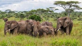 大象在塞伦盖蒂在坦桑尼亚 库存图片