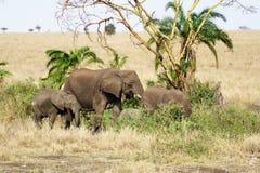 大象在塞伦盖蒂 库存图片