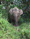 大象在密林 免版税库存图片