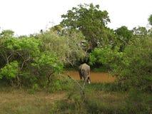 大象在斯里兰卡 两头年轻亚洲大象在国立公园,斯里兰卡 在草的亚洲大象与山和 免版税图库摄影