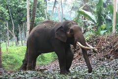 大象在斯里兰卡 免版税库存照片