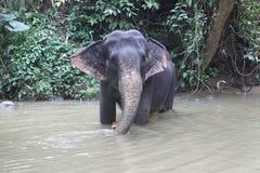 大象在斯里兰卡 库存照片