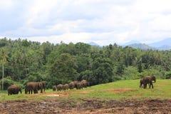 大象在斯里兰卡 库存图片