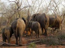 大象在日落的`后面在大草原的一个徒步旅行队期间 库存图片