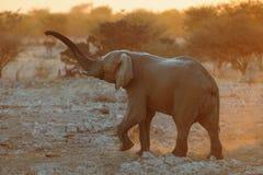 大象在晚上 免版税库存图片