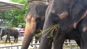 大象在有一个推车的动物园在后面吃着 泰国 聚会所 影视素材