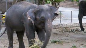 大象在有链子的一个动物园里被束缚对他们的脚 慢的行动 泰国 聚会所 股票录像