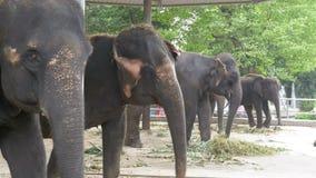 大象在有链子的一个动物园里被束缚对他们的脚 泰国 聚会所 股票录像