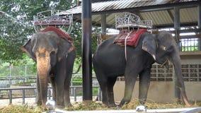 大象在有链子的一个动物园里被束缚对他们的脚 泰国 聚会所 股票视频