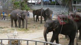 大象在有链子的一个动物园里被束缚对他们的脚 泰国 聚会所 影视素材