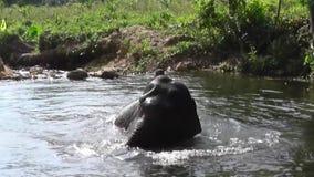 大象在水中 影视素材