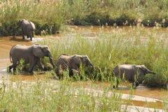 大象在河 库存照片
