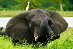 大象在沼泽 马拉维 库存照片