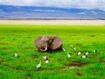 大象在沼泽 库存图片