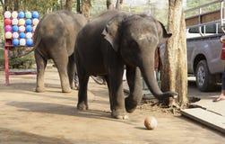 大象在游人前面的戏剧球在t的指导下 免版税库存图片