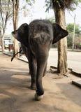 大象在游人前面的戏剧球在t的指导下 库存图片