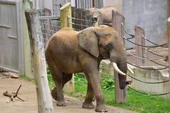 大象在维也纳动物园里 库存照片