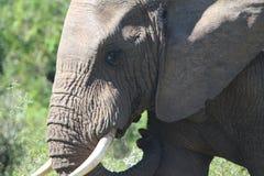 大象在阳光下 库存照片