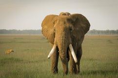 大象在马塞人玛拉国家公园,肯尼亚 库存照片
