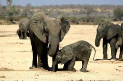 大象在鲁阿哈国家公园,坦桑尼亚 库存照片