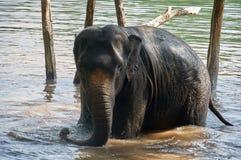 大象在洗浴的河 库存图片