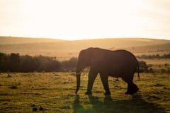 大象在Addo大象国立公园在伊莉莎白港-南非 免版税库存图片