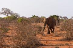 大象在Tsave国家公园,肯尼亚 免版税库存图片