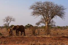 大象在Tsave国家公园,肯尼亚 免版税库存照片