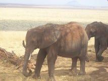 大象坦桑尼亚 图库摄影