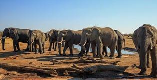 大象大牧群在与小日志堆的一小waterhole附近聚集在前景 库存图片