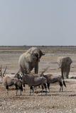 大象大羚羊 库存图片