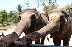 大象夫妇 免版税库存图片