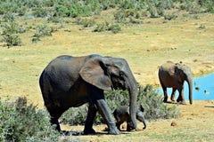 大象女家长和新出生的小牛 免版税图库摄影
