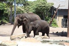 大象妈妈和婴孩在Taronga动物园澳大利亚里 库存照片