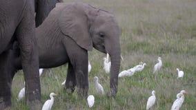 大象婴孩特写镜头在牧群中的在大草原的牧场地吃树干草 股票视频