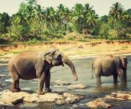 大象孤儿院,斯里兰卡 免版税图库摄影