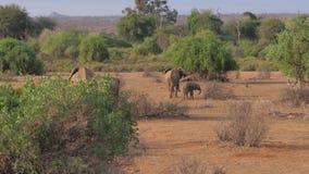大象家庭去非洲大草原储备的热的棕色地球上 股票录像