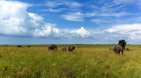 大象家庭在一个高草大象家庭的一个徒步旅行队去 免版税库存图片