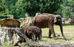 大象家庭在动物园里 库存图片