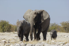 大象家庭,纳米比亚 库存照片