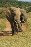 大象对 免版税库存照片