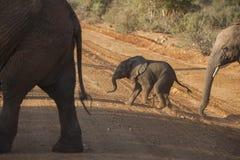 年轻大象小牛横穿土路 库存照片