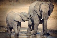 大象小牛饮用水在干燥和热的天 图库摄影