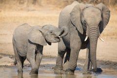 大象小牛饮用水在干燥和热的天 库存照片