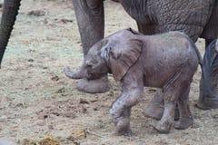 大象小牛 免版税图库摄影
