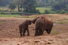 大象小牛 库存照片
